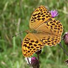 Silver-washed Fritillary by SophiaDeLuna