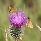 Two Small Skippers by dilouise