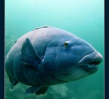 Blue Grouper by Alexey Dubrovin