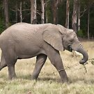 Elephant by Anna Phillips