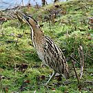 Bittern by Hovis