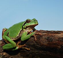 Sunbathing European Tree Frog ( Hyla arborea)  by Istvan froghunter