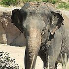 Indian Elephant by ivanfeltonglenn