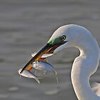 Great Egret by photosbyjoe