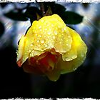 Dew Drop Rose by Anthony Superina