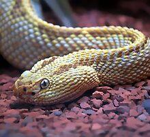 Albino Rattlesnake by Robert Bertino