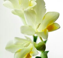 If only I could send you the scent of these Freesias by Clare Colins