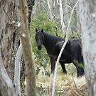 Black Brumby by louisegreen