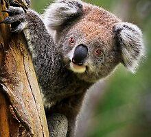 How Much Can A Koala Bear! by Stephen Ruane