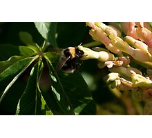 Bumble Bee 3 Photographic Print