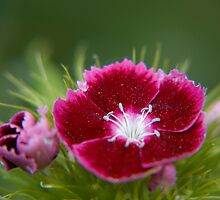 Sweet William by GeorgiaConroy