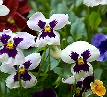 Pansies by GeorgiaConroy