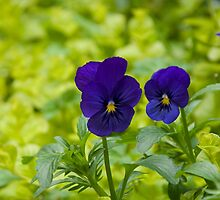 Pansies 2 by Georgia Conroy