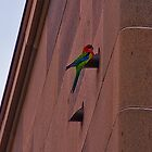 Eatern Rosella at the War Memorial, Canberra by Jaxybelle