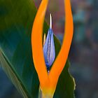 Bird of Paradise 7 by Georgia Conroy
