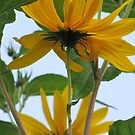 Sunflower by orko