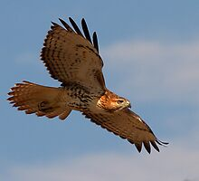 082711 Red Tailed Hawk by Marvin Collins