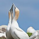 Gannets greeting, Saltee Island, County Wexford, Ireland by Andrew Jones