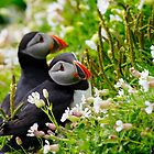 Atlantic Puffins, Skellig Islands  by Brian Healy Photography