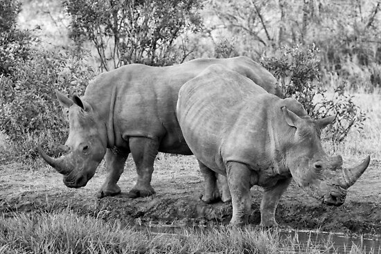 Rhinos by Michael  Moss