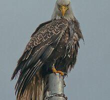 Portentous Eagle by Gail Bridger