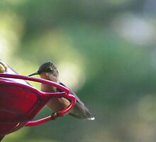 Newbie Hummingbird by MaryinMaine