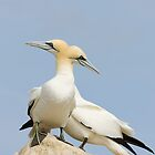 Seabirds of Saltee Island, County Wexford, Ireland by Andrew Jones