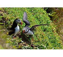 Puffin courtship, Saltee Isand, County Wexford, Ireland Photographic Print