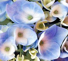 Endless Summer -- Blue Hydrangea by T.J. Martin