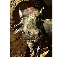 Water Buffalo with Dye on Head Photographic Print