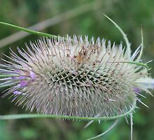 Decorative Thistle by karina5