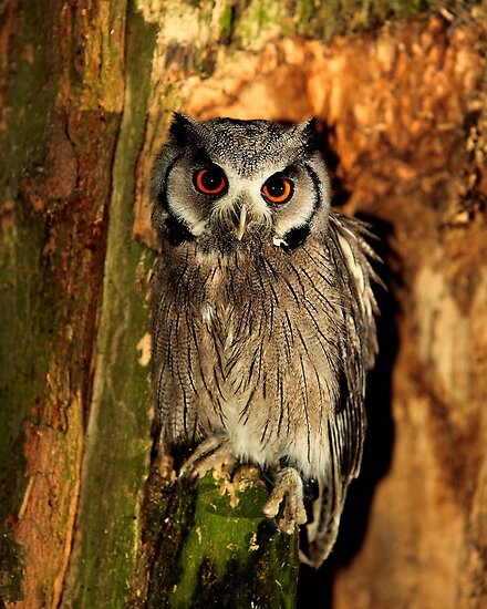 White Faced Scops Owl by Norfolkimages