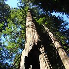 Towering Redwood Tree Forest art prints Big California Redwood by BasleeArtPrints