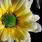 Yellow Daisy by Kirsty Auld