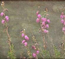 A melody of soft pink Irish Heath by steppeland