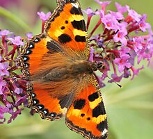 Small Tortoiseshell On Buddleja by Robert Abraham