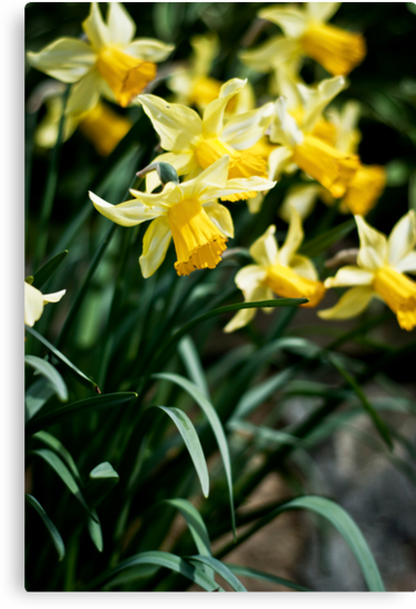 Daffodils by Oliver Bain