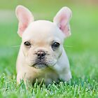 French Bull Dog Puppy by Robby Ticknor