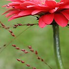 A fresh red gerbera close-up by Susanna Hietanen