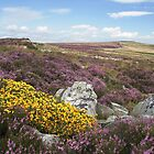 Heather and gorse by Jane Corey