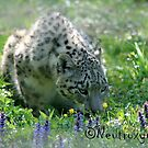 Snow leopard in spring by Neutro