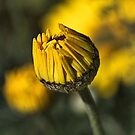 Daisy Yellow by Joy Watson