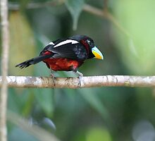 Black-and-red Broadbill - Cymbirhynchus macrorhynchos by MrMarth