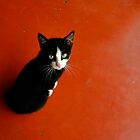Cameroon Cat by VioletHalo