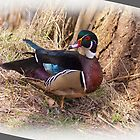 Wood Duck. by Aler