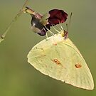 Large orange sulphur butterfly displaying its long tongue! by jozi1