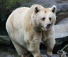 Brown Bear (ursus arctos) by Melissa Dickson