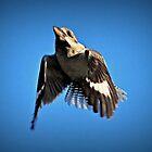 Kookaburra taking off by Melania