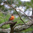 Perched Robin by Michael L. Colwell