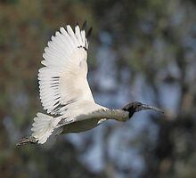 Australian White Ibis Flying #2, South Australia.  by Carole-Anne
